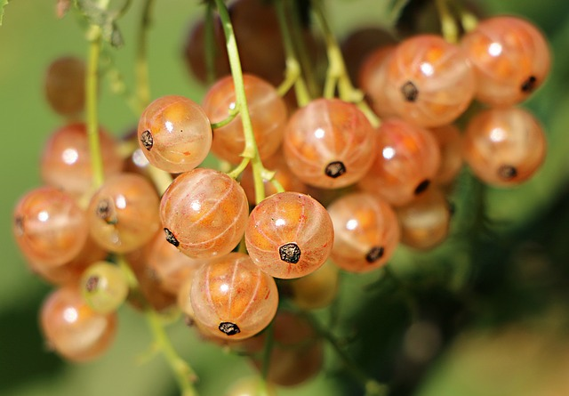Currant, Berries, Bunch, White, Closeup, Healthy