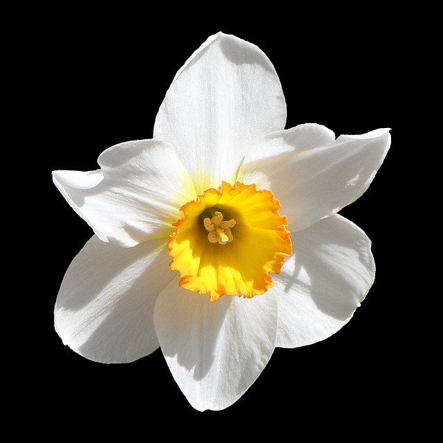 Daffodil, Narcissus, White, Yellow, Blossom, Bloom