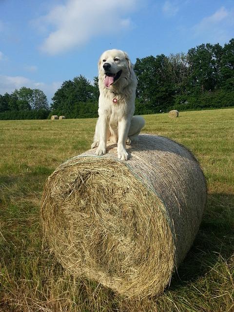Dog, White Dog, White, Sitting, Hay, Grass, Summer