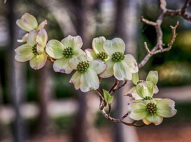 Dogwood, Cornus Florida, Spring, White, Season, Growth