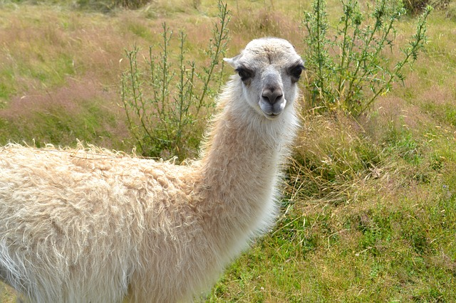 Lama, Nature, White, Camelid, Domestic Animal