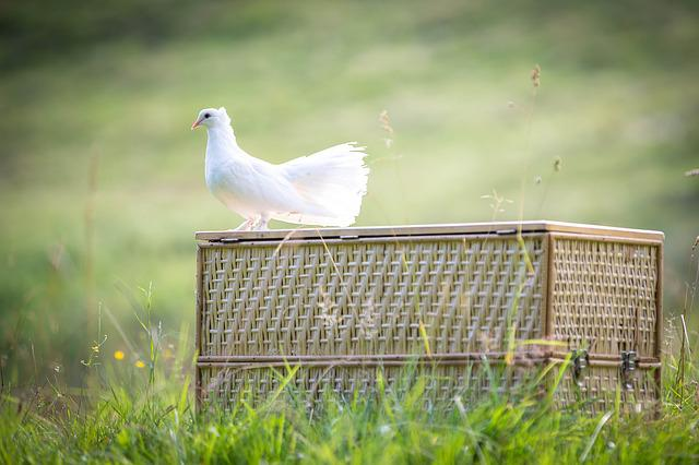 White Dove, Bird, Dove, Beautiful, Plumage, Romantic