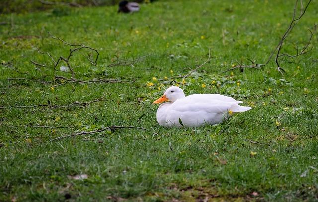 Duck, White, Lying Duck