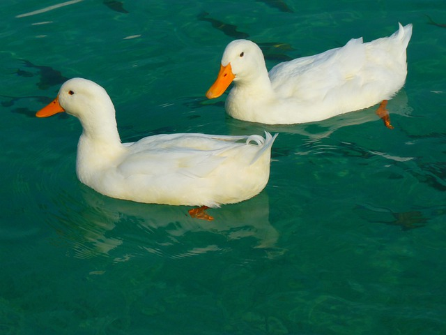 Duck, White, Ducks, Animal, Water
