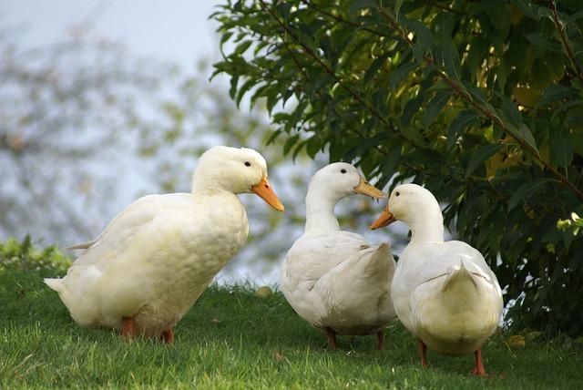Ducks, White, Animals, Bird, Water, Nature, Lake
