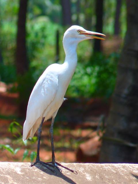 Cattle Egret, Eastern, Bird, White
