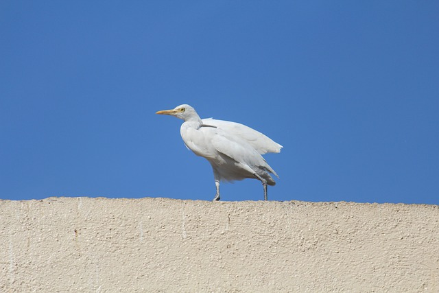 Egret, Cattle Egret, Roof Top, Bird, White, Sky, Blue