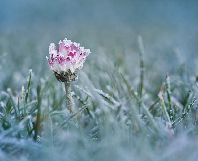 Daisy, Frost, Cold, Ice, Eiskristalle, White, Flower