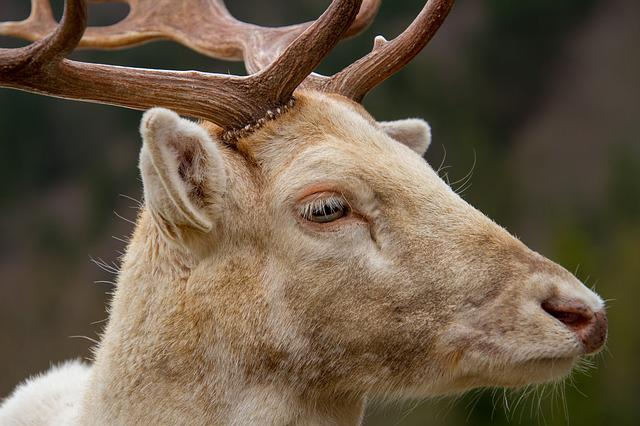 Hirsch, Fallow Deer, White, Animal, Nature
