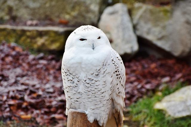 Snowy Owl, Owl, Raptor, Bird Of Prey, White, Feather