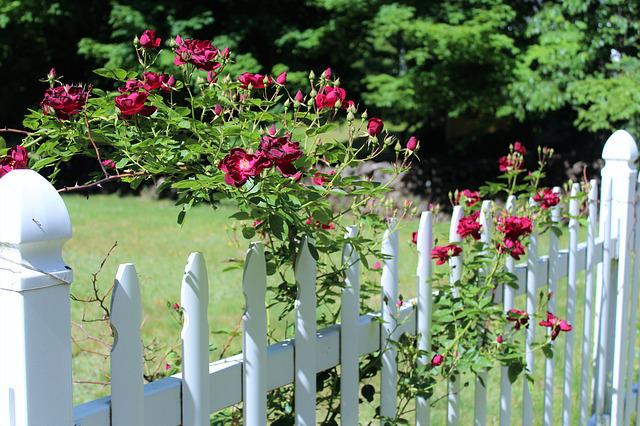 Red Roses, Scent Of Roses, White Fence
