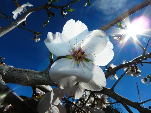Flower, White, Almond Tree Nature