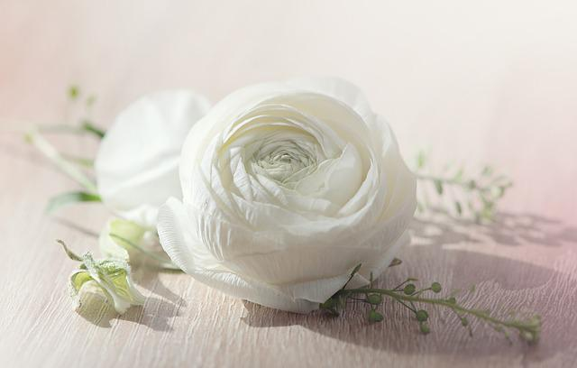 Flower, Ranunculus, Blossom, Bloom, White, White Flower