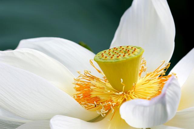 Lotus, Flower, Lotus Flower, White Flower, Petals