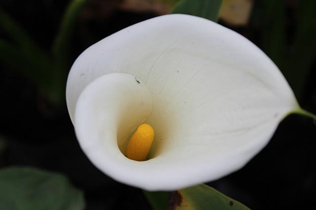 Arum, Flower, White, Lily, Zantedeschia, White Flower