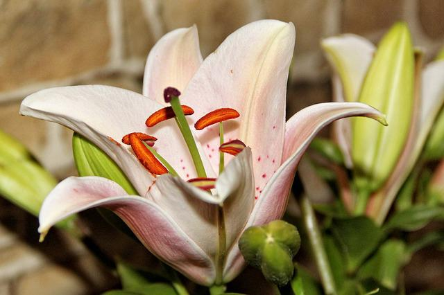 Lily, Blossom, Bloom, Pistil, White, Flower, Close