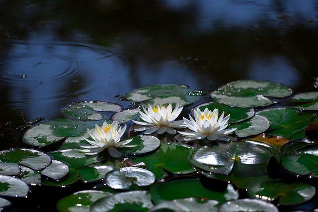 Water Lilies, Pond, Lotus, Aquatic Plants, White Flower
