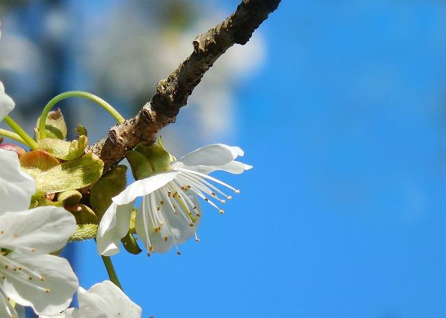White Flower, Cherry, Spring, Macro