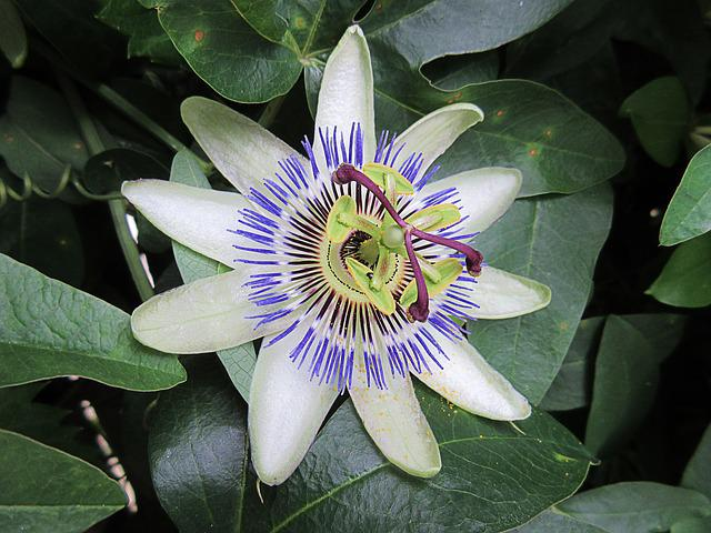 Passionflower, White Flower, Star, Nature, Close Up
