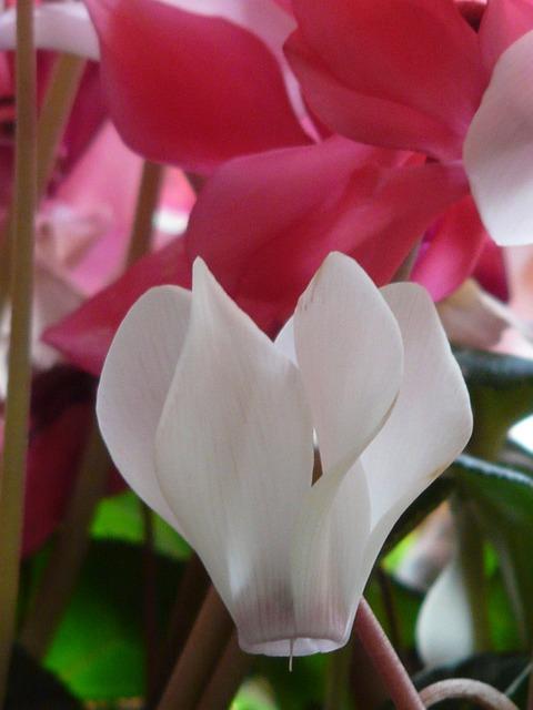 Cyclamen, Flower, Pink, White, Flora, Ornamental Plant