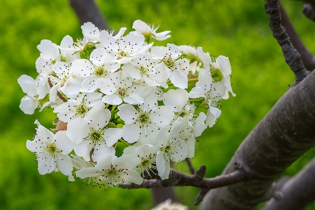 Pear Flower, Wood, Flowers, Flower Tree, Nature, White