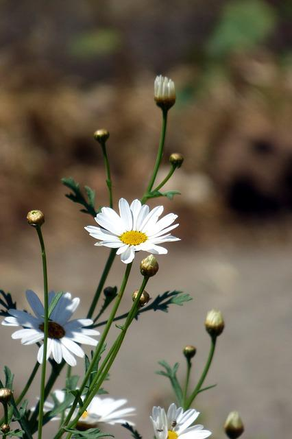 Flower, White Flower, Daisy, White, Spring, Nature