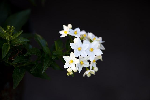 Flower, Plant, Blossom, Bloom, White Flowers