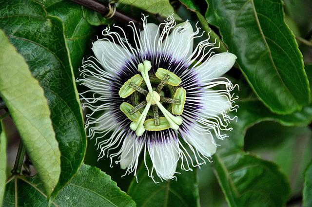Passion Flower, White Flowers, Bloom, Blossom, Flora