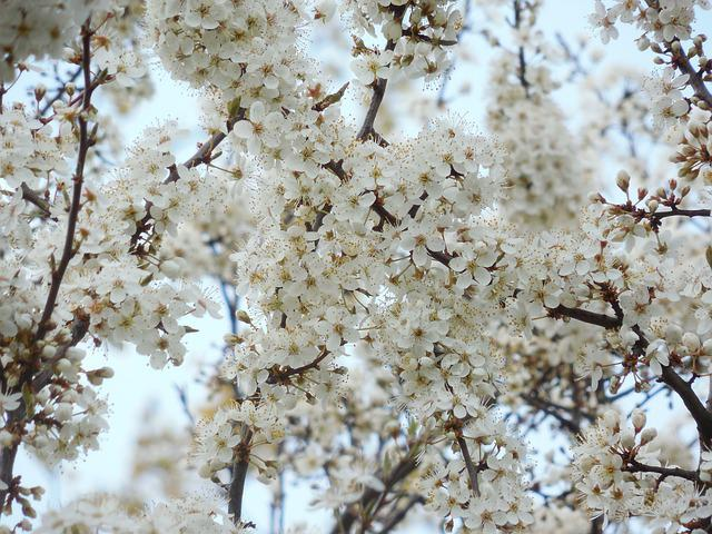 Blossoming Cherry, White Flowers, Tree, Spring