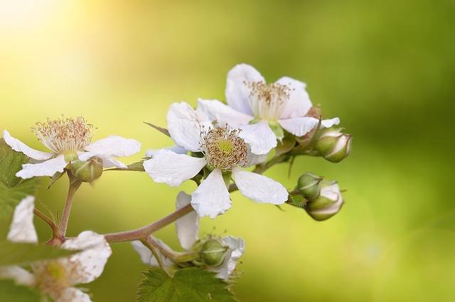 Brombeerblüten, White, Flowers, White Flowers, Plant