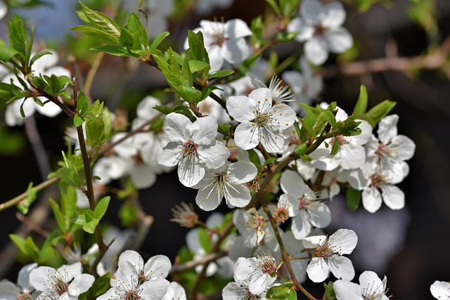 Schlehe, Blackthorn, Bush, Flowers, Bloom, White, Hedge