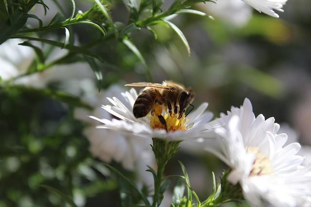 Bee, Insect, Animal, Plant, White Flowers, Close