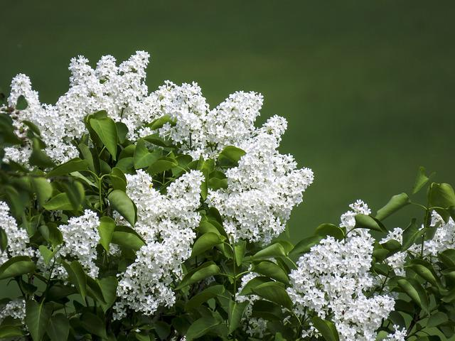 Lilac, White, Flowers, Bloom, Garden, Bouquet, Nature