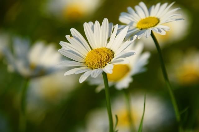 Daisies, Flowers, White Flowers, Petals, White Petals