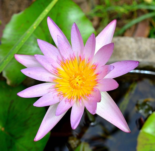 Lotus, Flowers, Plant, Nature, White, Purple