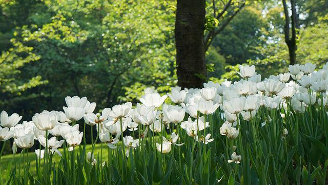 Hangzhou, Tulip, Prince Bay, White Flowers, Garden