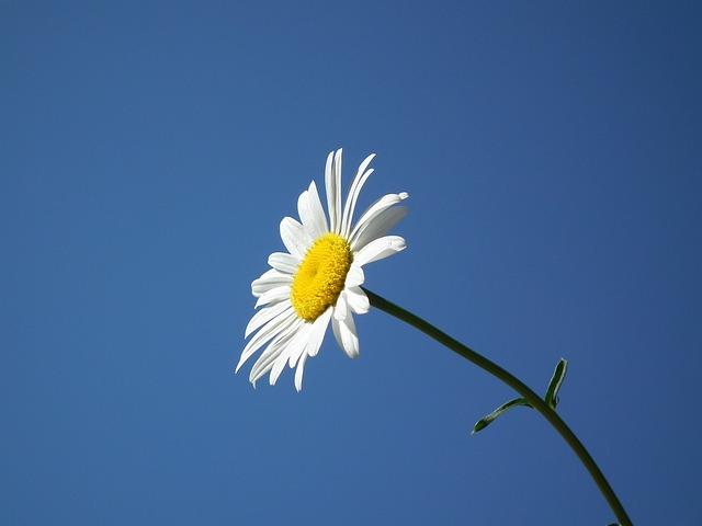 Flower, Bloom, White, Summer, Daisy, Flowers, Day, Sky