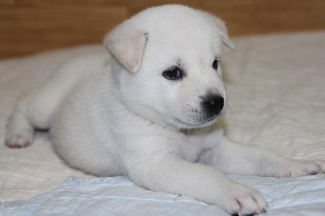 Korean Jindo, Dog, Puppy, White Fur