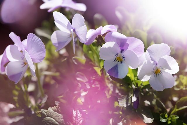 Pansy, Violet, White, Garden Pansy, Viola, Flower