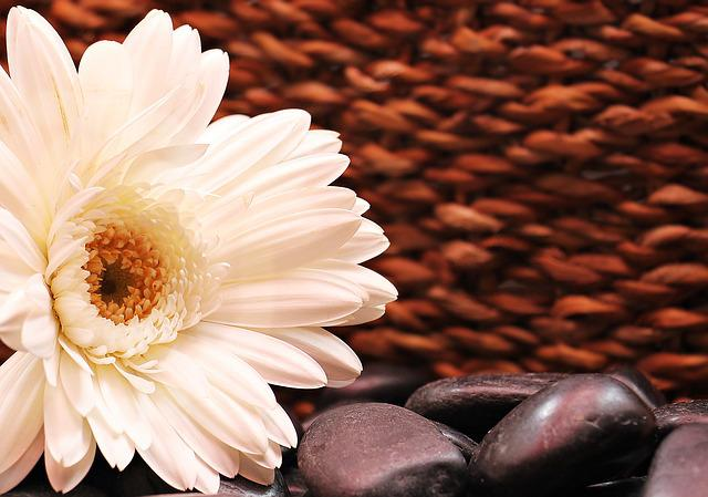 Gerbera, Flower, Blossom, Bloom, Composites, White