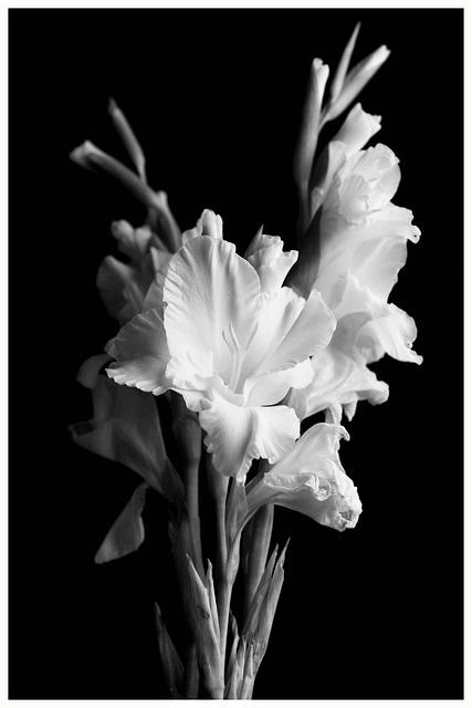 Gladiolus, Flower, Black, White, Nature, Bouquet