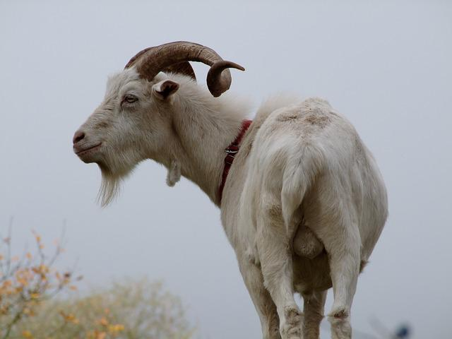 Goat, Billy Goat, Testicles, White Goat, Horned