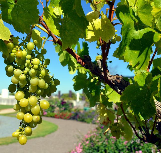 Grapes, Vine, Wine, White Grapes, Fruits, Winegrowing