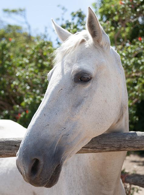 Portrait Of A White Horse, Head, Face, Profile, White