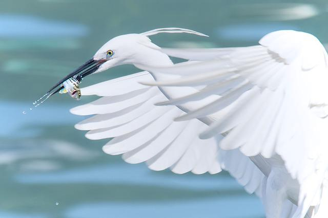 White Heron, Flying, Fish, White, Heron, Bird, Wildlife