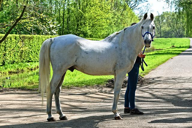 White Horse, Horse, Equine, Animal, Mammal, Roan