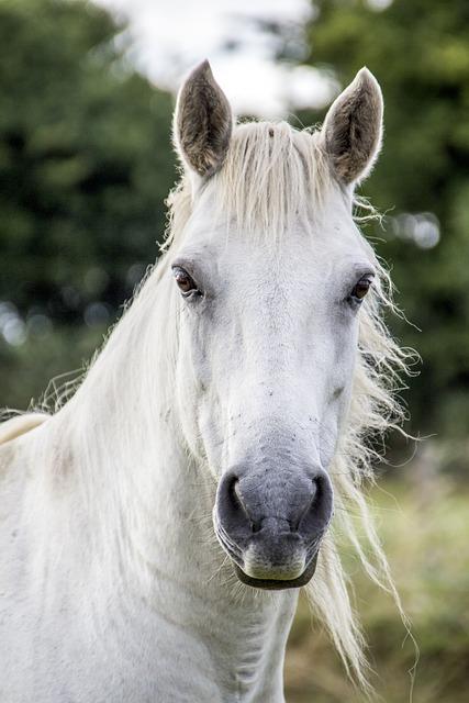 Horse, White Horse, Irish Horse, White, Mammal, Animal
