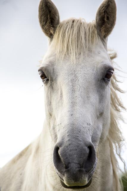 Horse Print, White Horse, Irish Horse, Ireland, Horse