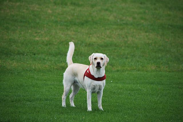 Animal, Dog, Labrador, White, Walk