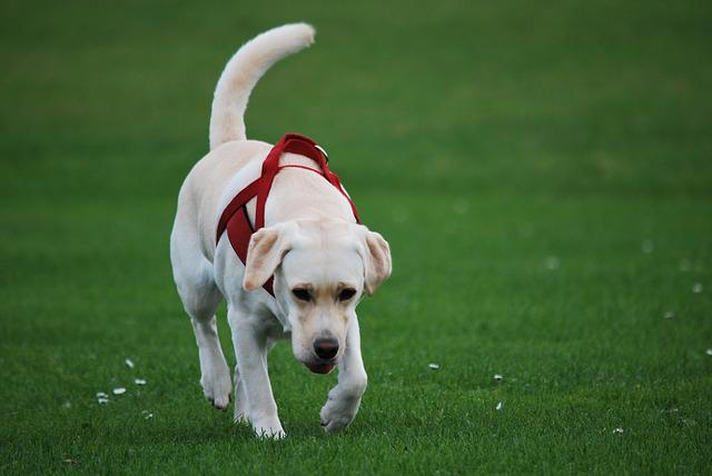 Animal, Dog, Labrador, White, Walk